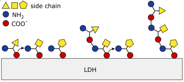 Upon dehydration, the N- and C-termini of adsorbed amino acids co-align, allowing the formation of a peptidic bond. The newly formed di-peptide remains tethered via C-terminus only. The bond formation leads to the loss of the charge, facilitating introduction of a new amino acid. The N-terminal of amino acid is then able to form a bond with the C-terminal of di-peptide, thus triggering further peptide growth.
